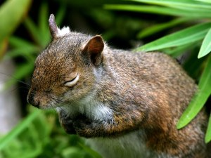 wallpapers-cute-sleeping-baby-squirrel-1280x960